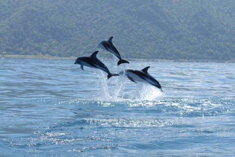 El delfín | Características, alimentación, hábitat, inteligencia