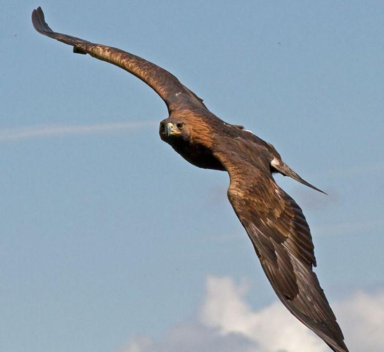 El Águila Real | Características, hábitat, alimentación, peligros 2