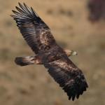 El Águila Real | Características, hábitat, alimentación, peligros 3