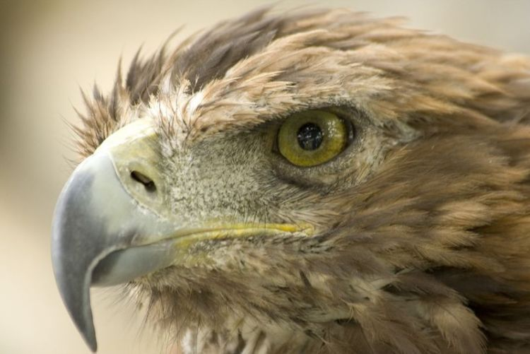 El Águila Real | Características, hábitat, alimentación, peligros