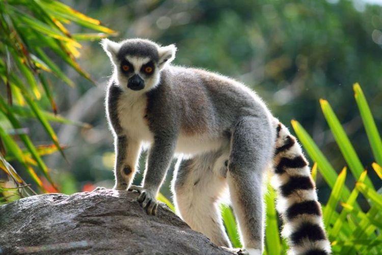 El lémur | Características, hábitat, peligros 2