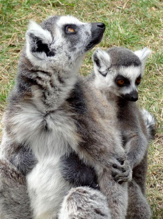 El lémur | Características, hábitat, peligros 3