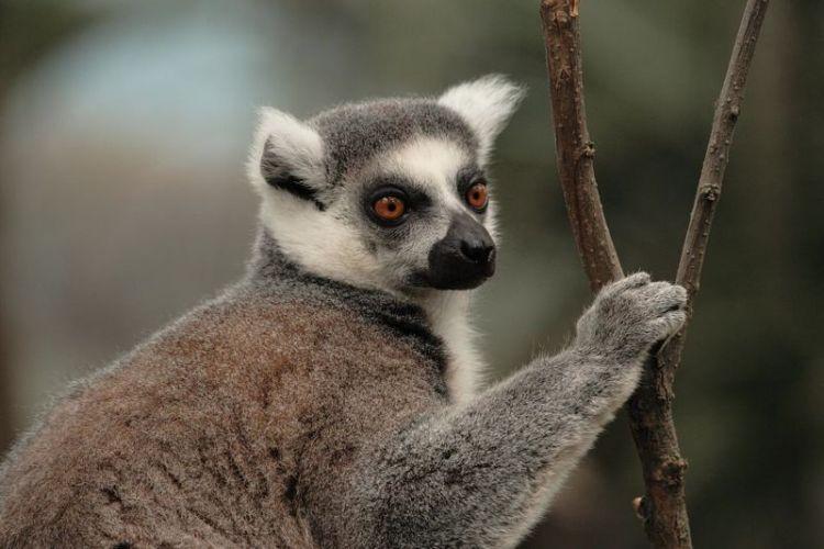 El lémur | Características, hábitat, peligros