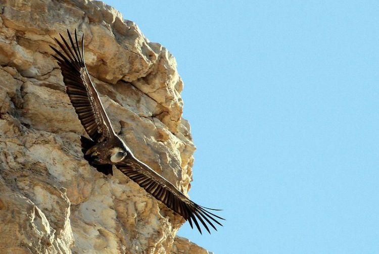 El buitre leonado | Características, hábitat, alimentación 2