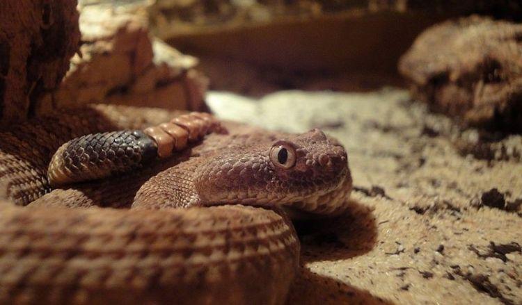 La Serpiente de Cascabel 2