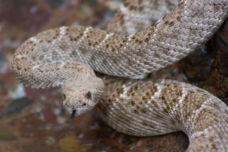La Serpiente de Cascabel 3