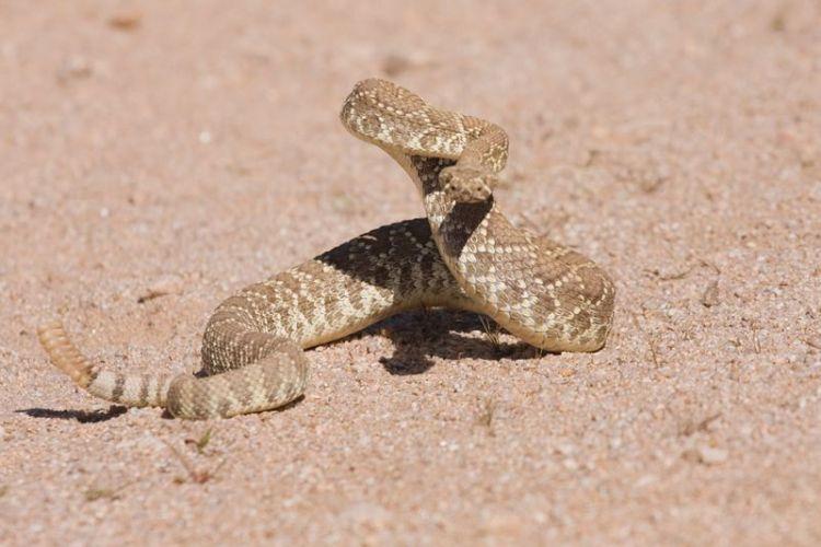 La Serpiente de Cascabel