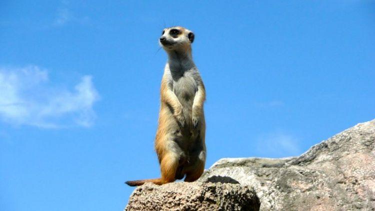 La Suricata | Características, hábitat, alimentación, comportamiento