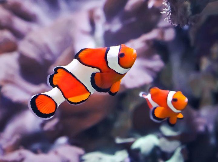 El pez payaso caracter sticas h bitat alimentaci n for Peces alimentacion