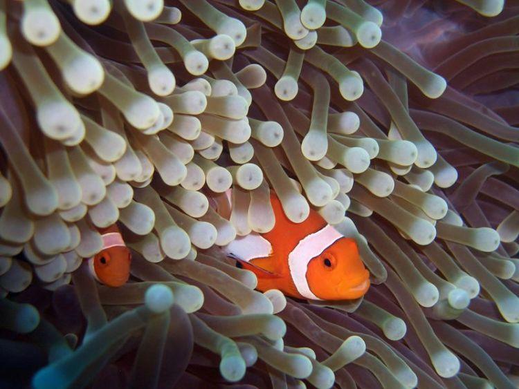 El pez payaso | Características, hábitat, alimentación 3