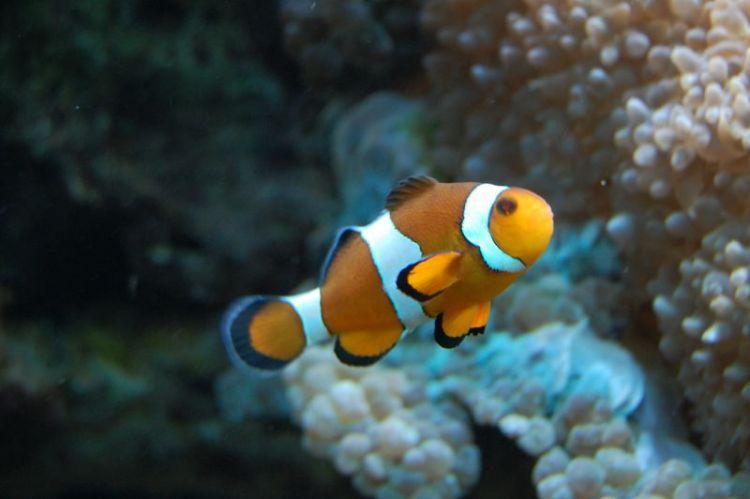 El pez payaso | Características, hábitat, alimentación