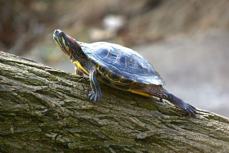 La tortuga de Florida | Características, hábitat, alimentación 2