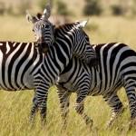 la cebra, caracterísitcas, hábitat y alimentación