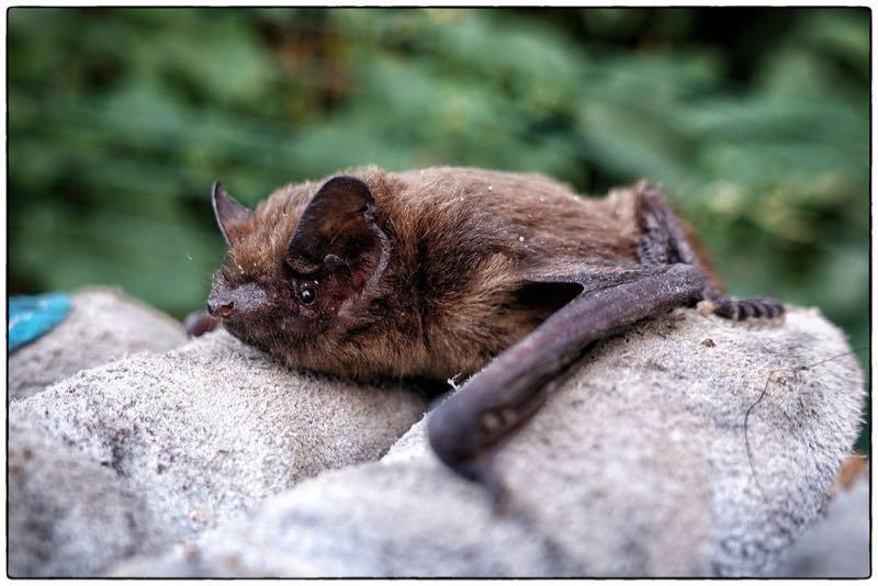 photo credit: Common Pipistrelle (Pipistrellus pipistrellus) via photopin (license)