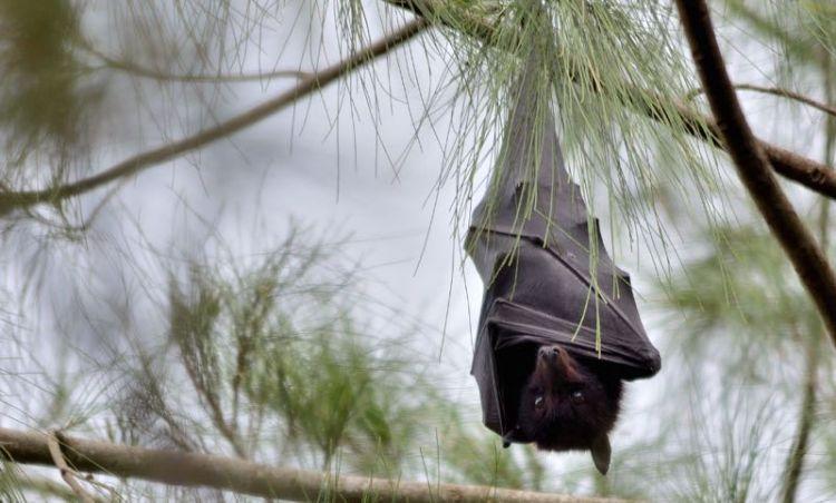 photo credit: black flying-fox (Pteropus alecto) via photopin (license)