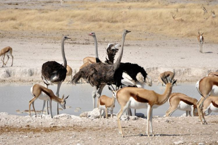 El avestruz, características, hábitat, comportamiento, comercio