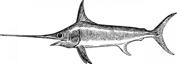 El pez de espada, caracteristicas, que come, habitat, consumo