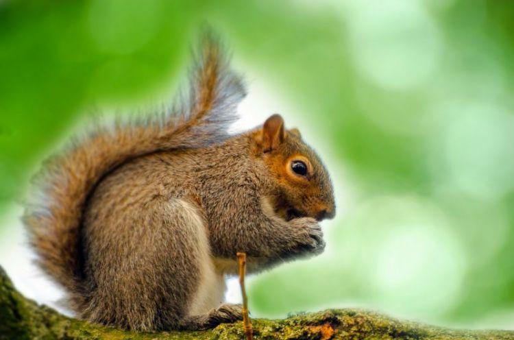ardilla, caracteristicas, habitat, alimentacion