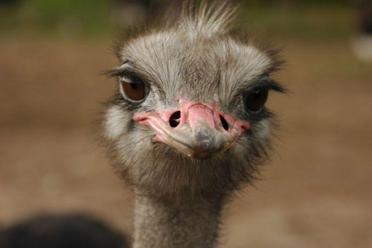 avestruz, caracteristicas, habitat, comportamiento, comercio