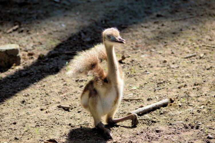 cria de avestruz