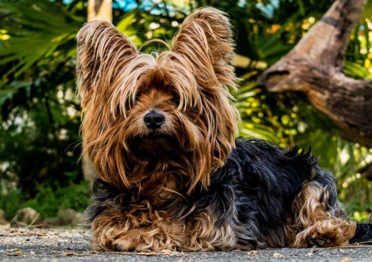 el perro, características, alimentación, comportamiento
