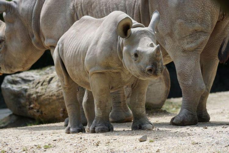 el rinoceronte, caraterísticas, qué come, alimentación, hábitat, peligro de extinción