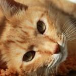gato, características, alimentación, comportamiento