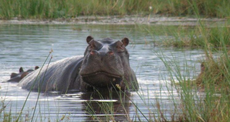 hipopotamo, caracteristicas, alimentacion, habitat