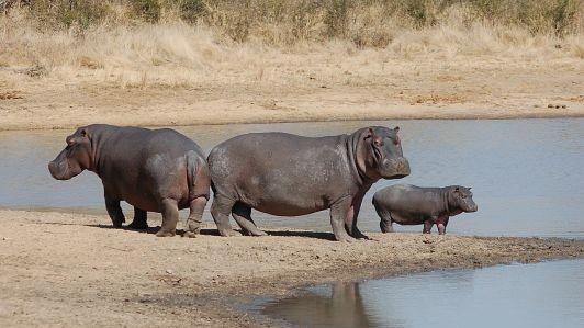 hipopotamo, caracteristicas, que come, habitat