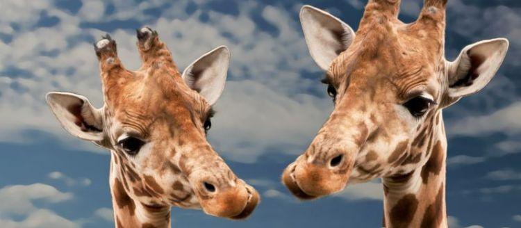 jirafa, alimentación, características, hábitat, qué come