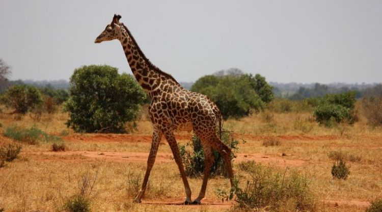 jirafa, alimentacion, caracteristicas, habitat, que come
