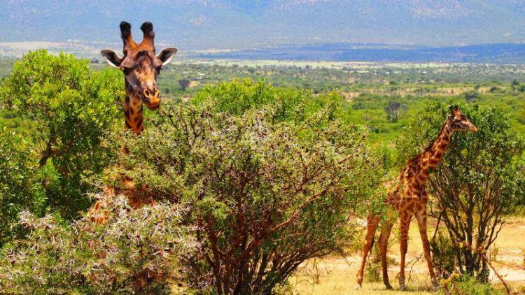 jirafa que come, caracteristicas
