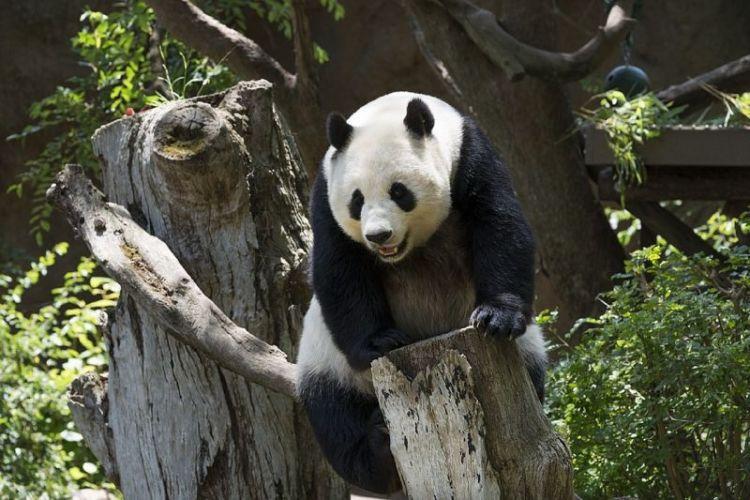 oso panda, características, alimentación, habitat