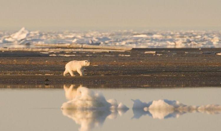 oso polar, características, alimentación, qué come, hábitat