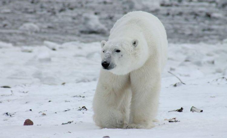 oso polar, caracteristicas, alimentacion, que come, habitat