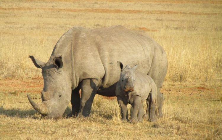 rinoceronte, carateristicas, que come, alimentacion, habitat, peligro de extincion
