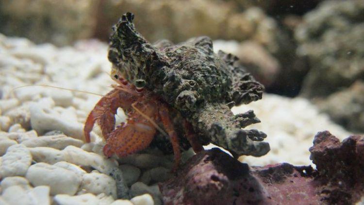 El cangrejo ermitaño, características, qué come, información
