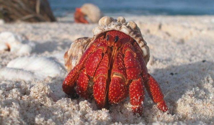 El cangrejo ermitaño, caracteristicas, que come, informacion