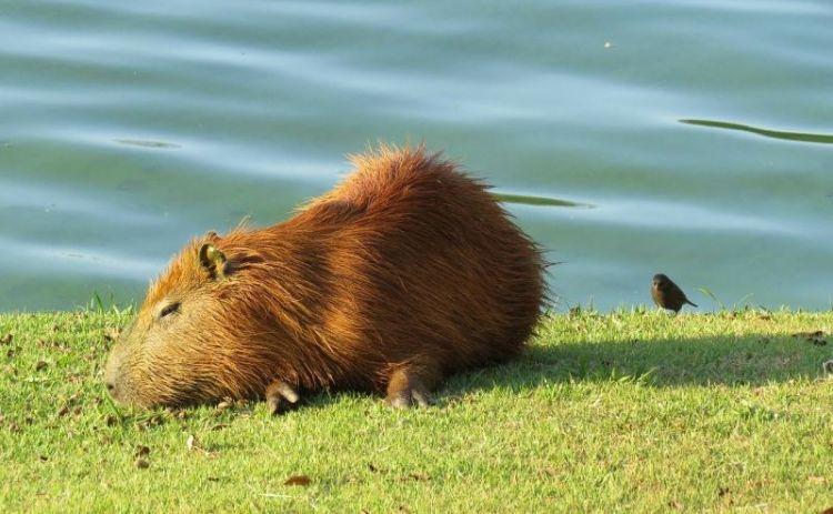El capibara, características, hábitat, qué come, mascota