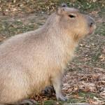 El capibara