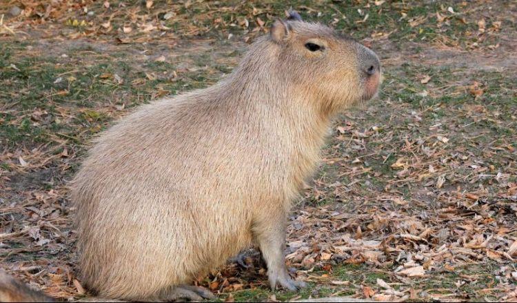 El capibara, caracteristicas, habitat, que come, mascota