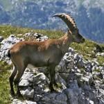 Cabra montesa, características, hábitat, información