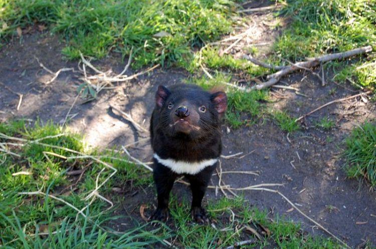 El demonio de Tasmania | Características, qué come, hábitat
