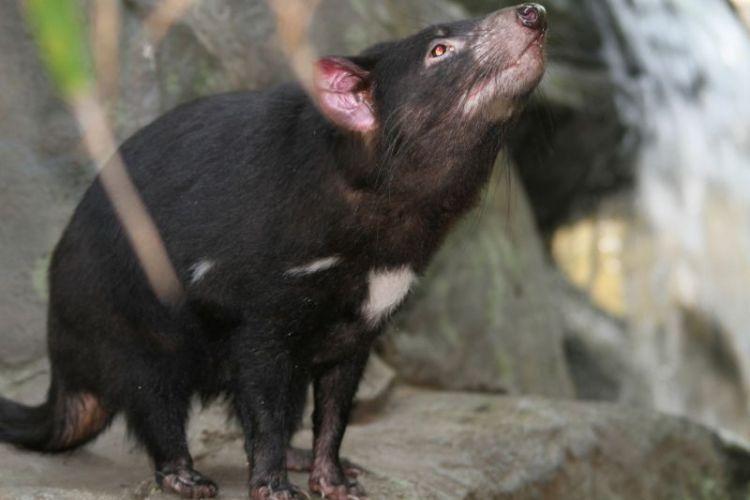 El demonio de Tasmania | Caracteristicas, que come, habitat