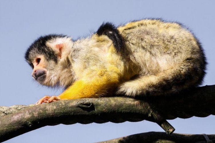 El mono capuchino | Características, hábitat, qué come 3