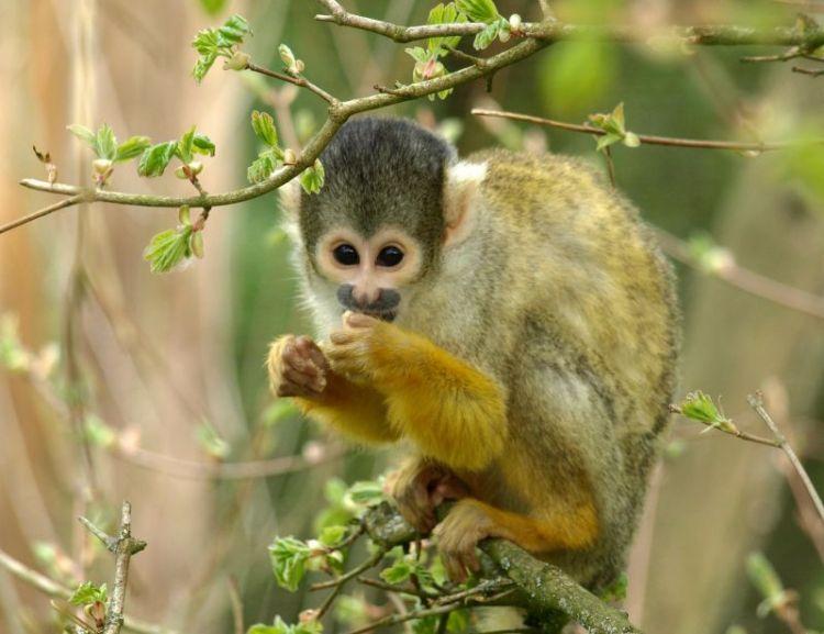 El mono capuchino | Características, hábitat, qué come