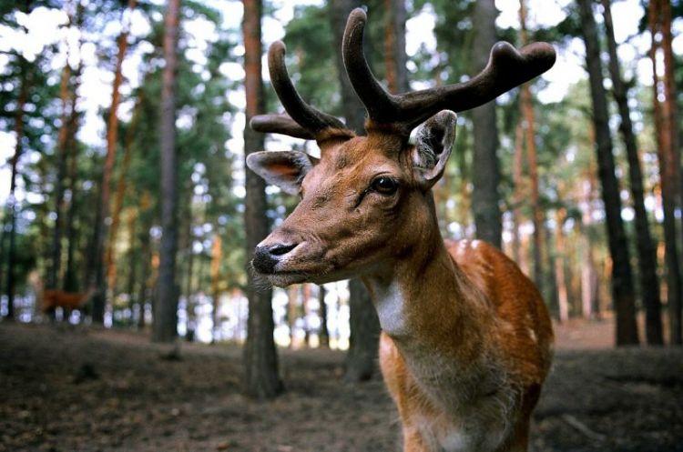 ciervo, características