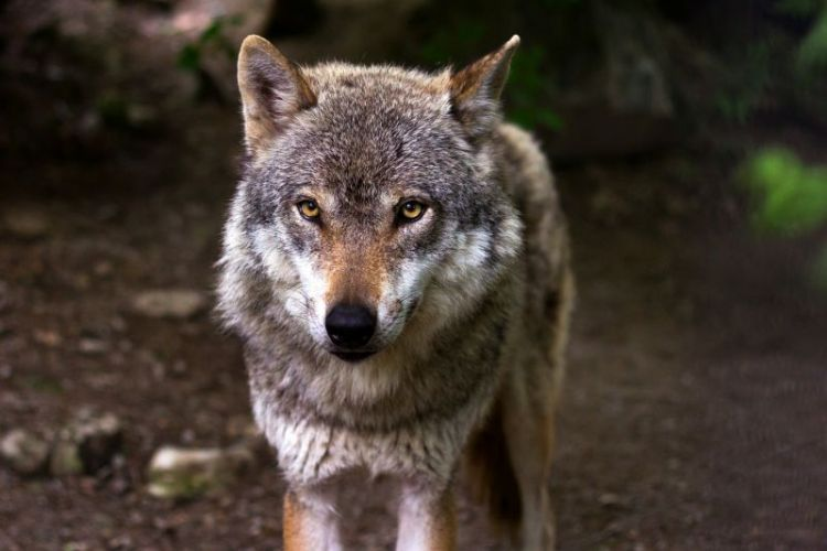 el lobo, características