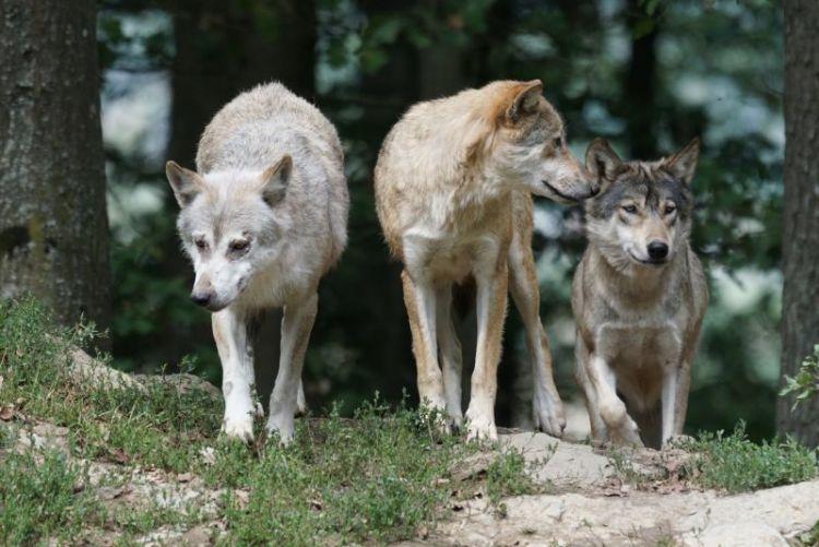 qué come el lobo y los pelgros de extinción