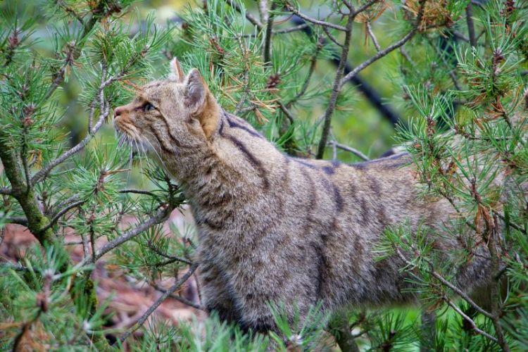 Gato montés, características y hábitat